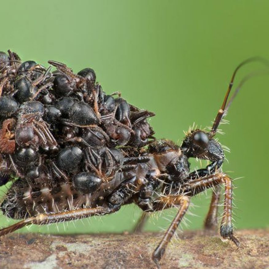 Acanthaspis-Petax